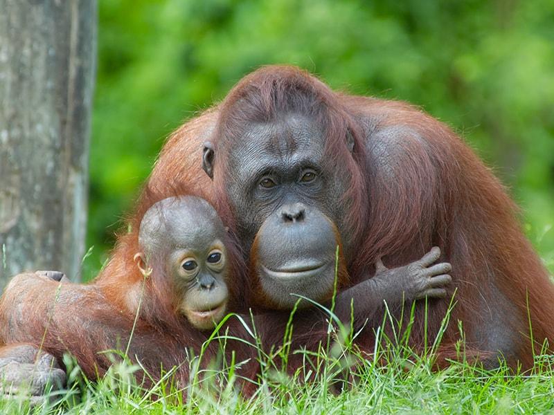 Malasia. Pasar un día entero entre orangutanes