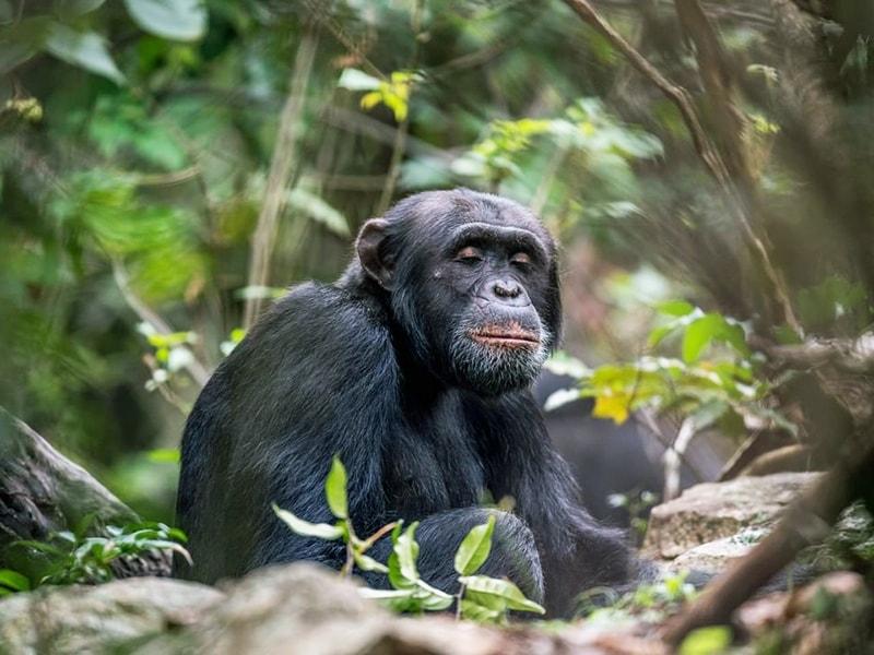 Tanzania. Encuentro con chimpancés