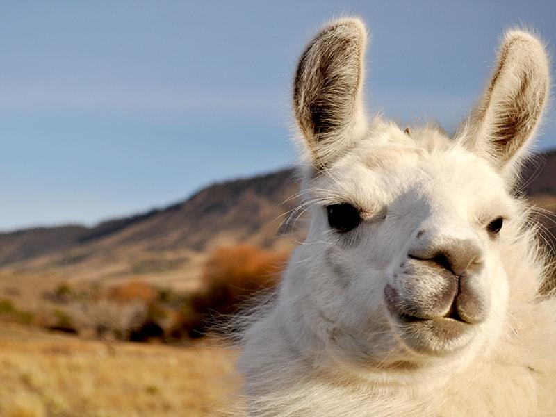 Argentina. Trekking con caravana de llamas