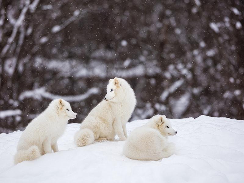 Ártico Noruego. Descubrir el santuario de lobos del Ártico