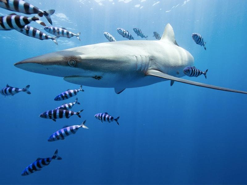 México. Disfrutar de un safari pelagico para contemplar tiburones