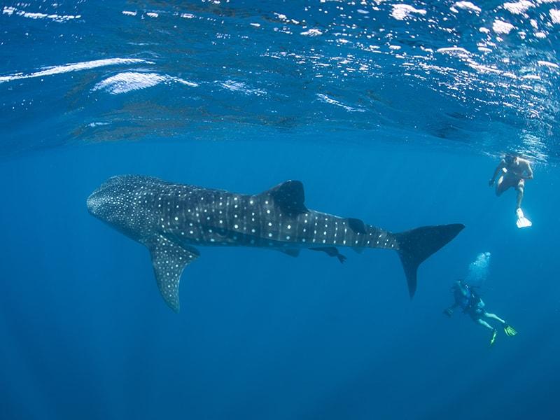 Playas de América. Deslizarse entre tiburones ballena